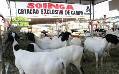 RN terá raça nobre de ovino reconhecida na Festa do Boi